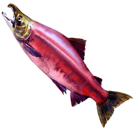 Red Sockeye, Kokanee Salmon, Oncorhynchus nerka isolated, watercolor illustration on white background