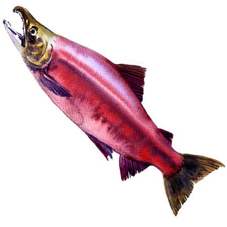 Red Sockeye, Kokanee Salmon, Oncorhynchus nerka isolated, watercolor illustration on white background