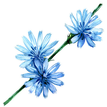 Chicory flowers, Cichorium intybus, isolated, watercolor illustration on white background Stock Photo