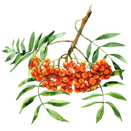 ashberry: Rowan berries with leaves, bunch, isolated, watercolor illustration on white