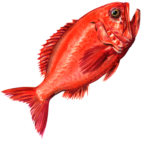 Red beryx decadactylus fish seafood isolated, watercolor illustration on white