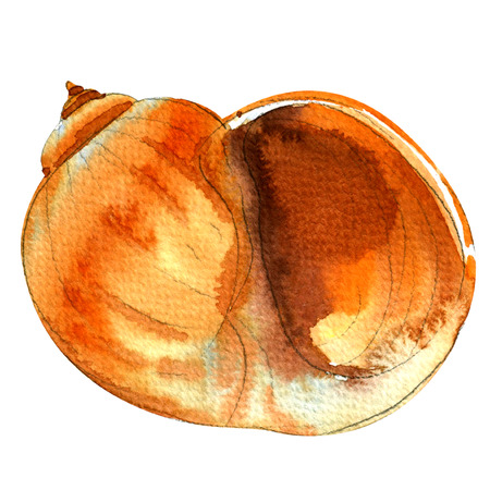 nature one painted: Sea shell closeup isolated, watercolor illustration on white