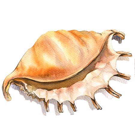 mollusc: Sea cockleshell, shell closeup isolated, watercolor illustration on white