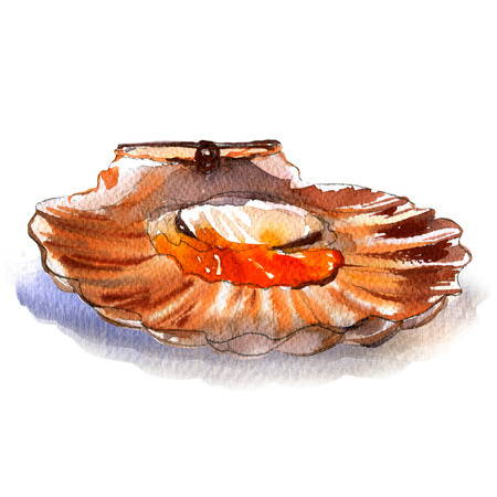 cockle: Raw open scallop, pecten, seafood, isolated, watercolor illustration, white background