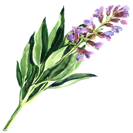 spring purple sage flower or blue salvia isolated, watercolor illustration on white