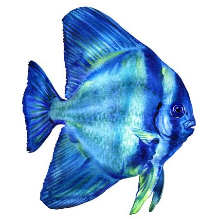 longfin: Blue Teira Batfish, platax or Spadefish in ocean, Thailand, isolated, watercolor illustration on white Stock Photo