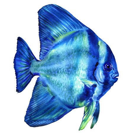 Blue Teira Batfish, platax or Spadefish in ocean, Thailand, isolated, watercolor illustration on white Stock Photo