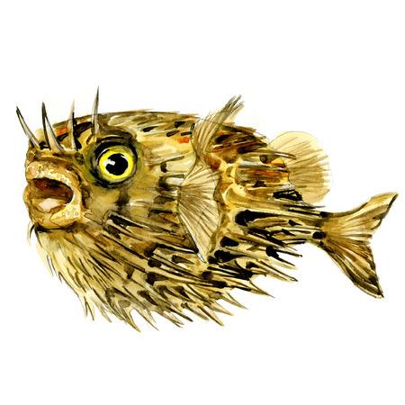 Peces Blowfish, espigón largo espina, spiny balloonfish, Diodon holocanthus, aislado, ilustración acuarela Foto de archivo