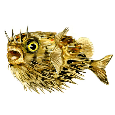 Blowfish fish, long-spine porcupinefish, spiny balloonfish, Diodon holocanthus, isolated, watercolor illustration