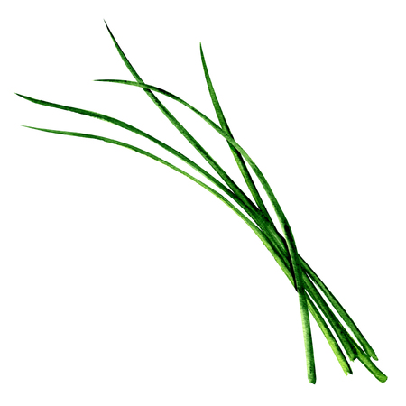 Young green fresh chives bunch isolated, watercolor illustration on white Reklamní fotografie