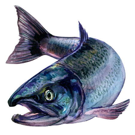 Whole fresh atlantic salmon fish isolated, watercolor illustration on white