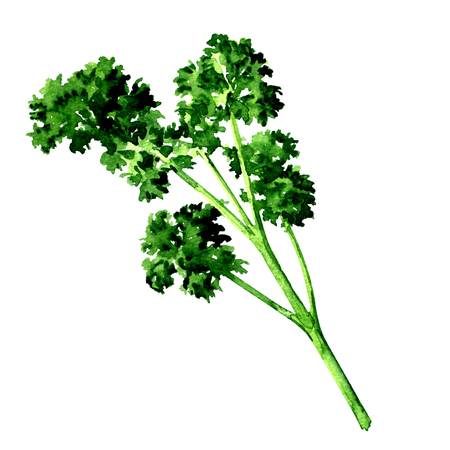 Fresh green parsley isolated, watercolor illustration on white