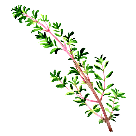 Twig of fresh thyme herb leaves isolated, watercolor illustration on white