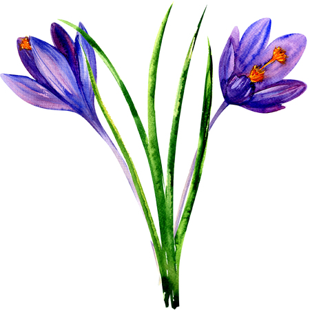 Spring violet blue crocus flowers isolated, watercolor illustration on white. Greeting easter card. Stock Photo