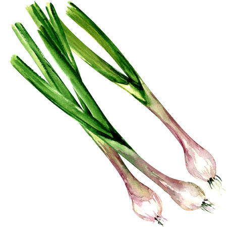 Fresh spring green onion isolated, watercolor illustration on white