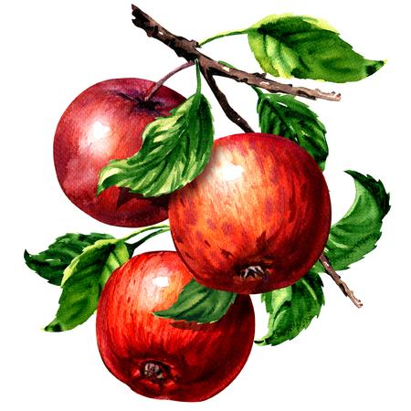支店隔離された、白の水彩イラストの葉と熟した 3 赤りんご