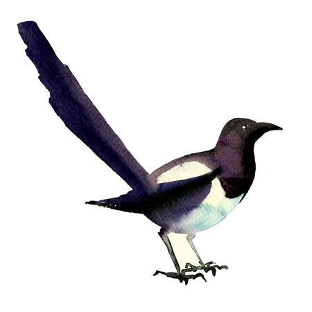 Beautiful eurasian, common magpie, european bird, pica pica, isolated, watercolor illustration on white