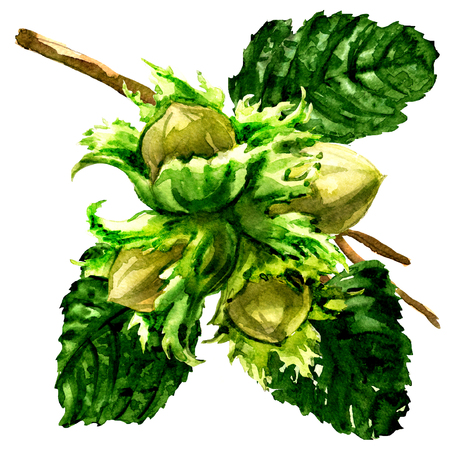nutty: Branch of fresh hazelnut, hazel nuts and leaves isolated, watercolor illustration on white