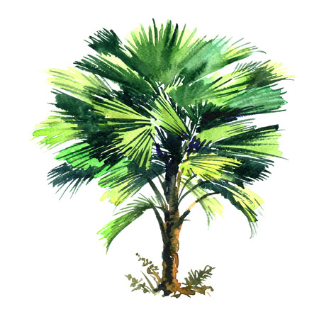 Cocos Nucifera, coconut palm tree with green leaves isolated, watercolor illustration on white Stock Photo