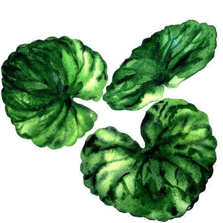 Gotu kola leaves, Indian pennywort, Centella asiatica, Medicinal thankuni isolated, watercolor illustration on white Stock Photo