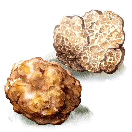 Whole and half white truffle mushroom, tuber magnatum, isolated, watercolor illustration on white