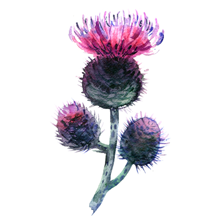 Agrimony, bur buds and flowers, burdock head isolated, watercolor illustration on white