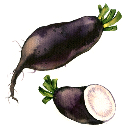 Black winter radish with slices isolated, watercolor illustration on white