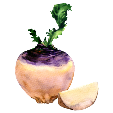 Fresh purple turnip with slice, vegetable isolated, watercolor illustration on white