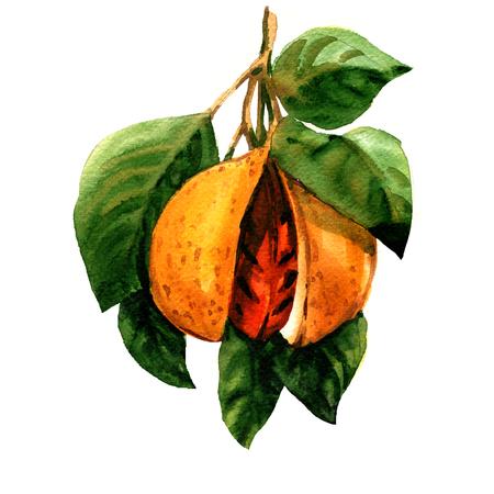 Rijpe notemuskaat, Myristica fragrans, tak met bladeren en geïsoleerd zaad, waterverfillustratie