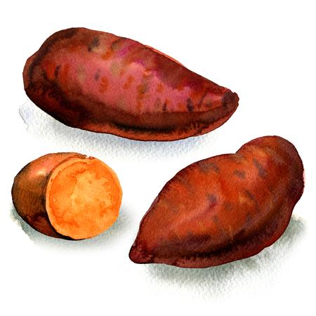 新鮮な生有機サツマイモ分離、白の水彩イラスト
