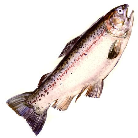 무지개 송어, 연어 물고기 절연, 화이트 수채화 그림 스톡 콘텐츠