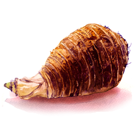 Fresh whole taro root, isolated, watercolor illustration on white
