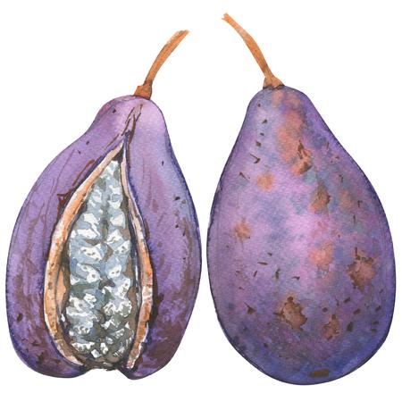 アケビ ・ キナタ、あけび、エキゾチックなフルーツ、全体のオブジェクト、分離、白の水彩イラスト