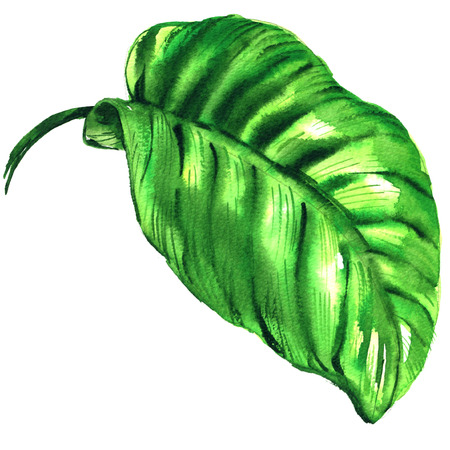 Tropical green leaf isolated, watercolor illustration on white