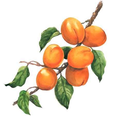 Ripe apricot branch with leaves, isolated, watercolor illustration on white background