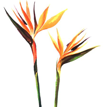 Strelitzia, bird of paradise flower, two flowers isolated, watercolor painting on white