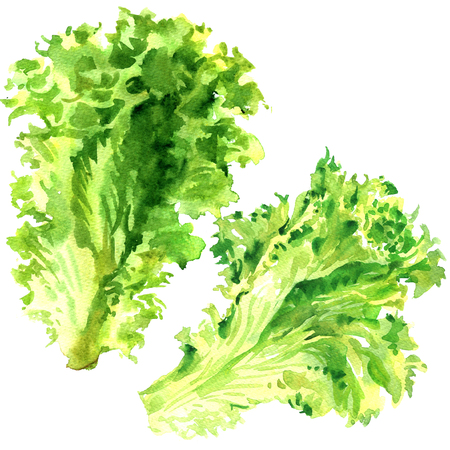 Two fresh green lettuce salad leaves isolated, watercolor illustration on white
