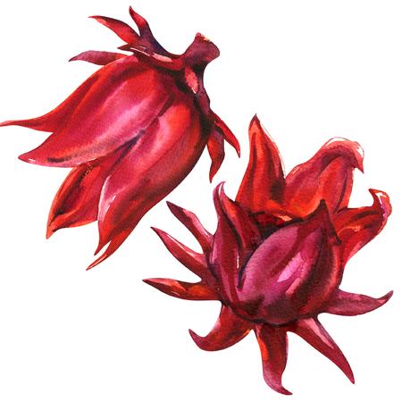 赤いローゼル、ハイビスカスサブダリッファ、フルーツの花、植物、白の分離、水彩のイラスト