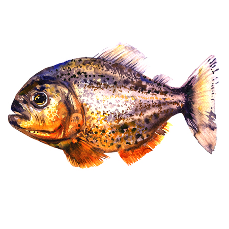 Tropical red piranha, predatory fish, side view, pirahna, isolated, watercolor illustration on white Stock Photo
