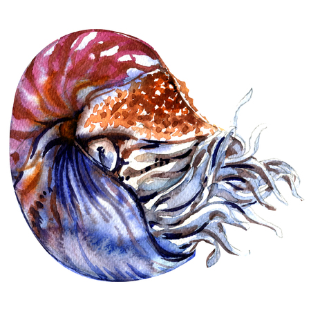 Chambered nautilus, Nautilus pompilius, pearly nautilus, shell isolated, watercolor illustration on white