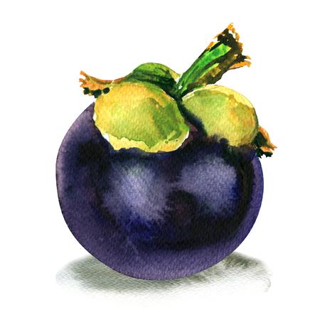 Purple mangosteen, Garcinia mangostana, ripe tropical whole fruit isolated, watercolor illustration on white