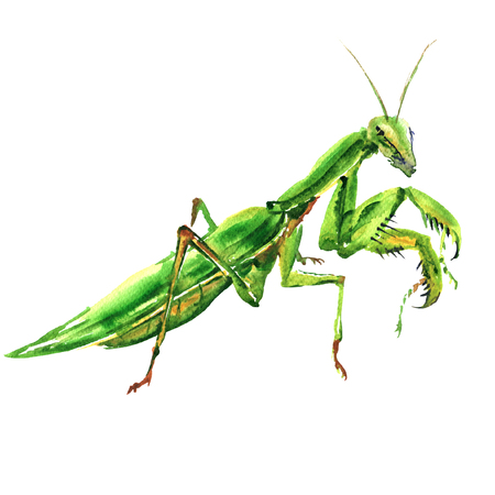 Bi green female european mantis, Praying Mantis, isolated, watercolor illustration on white Imagens - 94379940