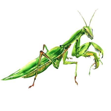 Bi green female european mantis, Praying Mantis, isolated, watercolor illustration on white