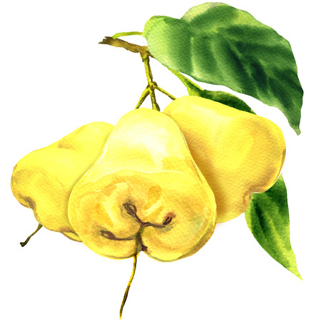 Fresh three yellow fruits rose apple with leaves on branch isolated, hand drawn watercolor illustration on white