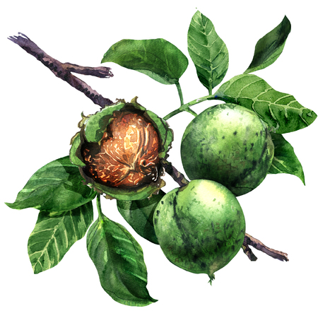 Ripe walnut, nut, walnuts fruits green tree branch with leaves isolated, hand drawn watercolor illustration on white
