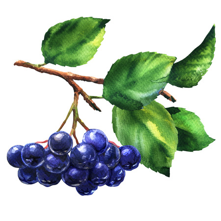 Branch of black chokeberry, aronia melanocarpa, fresh aronia berries with leaves, isolated, hand drawn watercolor illustration on white
