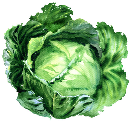 Fresh organic green leafy cabbage, garden raw vegetable, food object isolated, hand drawn watercolor illustration on white