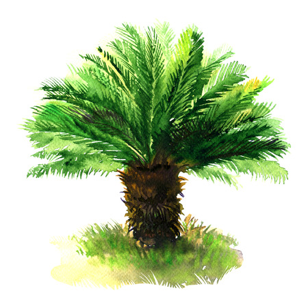 Sago palm tree with green grass, tropical sago cycad, japanese or king sago, isolated, hand drawn watercolor illustration on white background Stock Photo