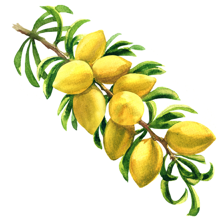 Fresh argan tree, Argania spinosa, branch with fruits, nuts on a branch, isolated, hand drawn watercolor illustration on white background