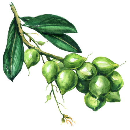 Fresh macadamia tree, branch with fruits, nuts on a branch, organic product for macadamia oil, isolated, hand drawn watercolor illustration on white background